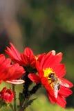 Abeja en una flor roja Imagen de archivo