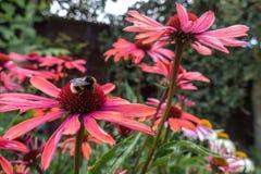 Abeja en una flor roja del Echinacea Fotografía de archivo libre de regalías