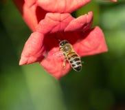 Abeja en una flor roja en naturaleza Macro Fotos de archivo