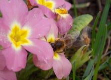 Abeja en una flor rosada Fotografía de archivo libre de regalías