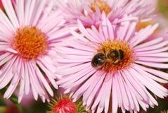Abeja en una flor rosada Imagen de archivo