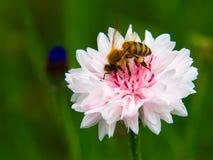 Abeja en una flor rosada Fotos de archivo