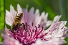 Abeja en una flor rosada Fotos de archivo libres de regalías