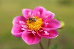 Abeja en una flor rosada Imagenes de archivo