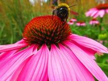 Abeja en una flor rosada Foto de archivo libre de regalías