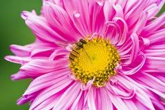 Abeja en una flor rosada Imágenes de archivo libres de regalías