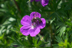 Abeja en una flor rosada brillante Foto de archivo libre de regalías