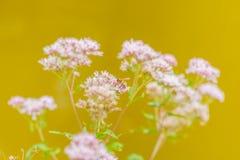 Abeja en una flor rosada con la profundidad del campo baja Fotos de archivo
