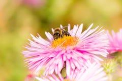 Abeja en una flor rosada del aster Imagen de archivo