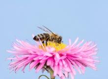 Abeja en una flor rosada del aster Fotos de archivo