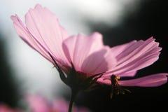 Abeja en una flor rosada del cosmos Imagenes de archivo
