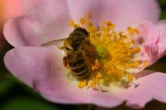 Abeja en una flor rosada (escaramujos) Macro de la abeja de la miel (Apis) encendido Imagenes de archivo