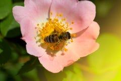 Abeja en una flor rosada (escaramujos) Macro de la abeja de la miel (Apis) encendido Fotos de archivo