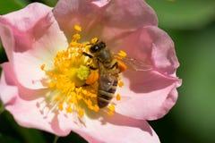 Abeja en una flor rosada (escaramujos) Macro de la abeja de la miel (Apis) encendido Fotografía de archivo libre de regalías