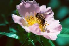 Abeja en una flor rosada Macro de la abeja de la miel en la flor color de rosa Foto de archivo