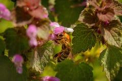 Abeja en una flor rosada que recoge el polen y que recolecta el néctar a p Foto de archivo