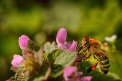 Abeja en una flor rosada que recoge el polen y que recolecta el néctar a p Fotografía de archivo
