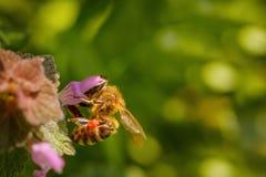 Abeja en una flor rosada que recoge el polen y que recolecta el néctar a p Imagen de archivo libre de regalías