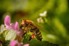 Abeja en una flor rosada que recoge el polen y que recolecta el néctar a p Imagen de archivo