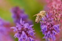Abeja en una flor sabia que recoge el polen imagenes de archivo