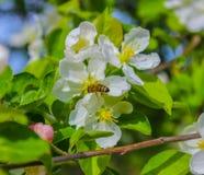 Abeja en una flor Sakura Foto de archivo