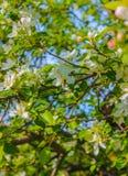 Abeja en una flor Sakura Fotografía de archivo