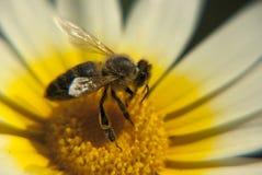 Abeja en una flor salvaje Foto de archivo