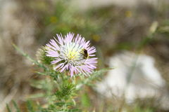 Abeja en una flor salvaje Fotos de archivo