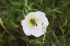 Abeja en una flor salvaje Fotos de archivo libres de regalías