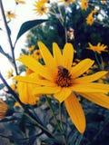 Abeja en una flor salvaje amarilla Imágenes de archivo libres de regalías