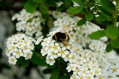 Abeja en una flor Se va volando visible Foto de archivo