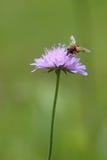 Abeja en una flor suiza del prado Foto de archivo libre de regalías