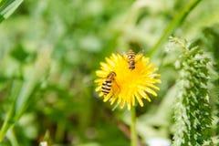 Abeja en una flor Una abeja en un diente de león La abeja poliniza Fotos de archivo