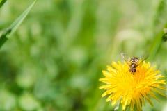 Abeja en una flor Una abeja en un diente de león La abeja poliniza Imagen de archivo