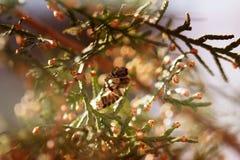 Abeja en una flor verde Macro de la abeja de la miel en la flor verde Foto de archivo