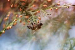 Abeja en una flor verde Macro de la abeja de la miel en la flor verde Fotografía de archivo
