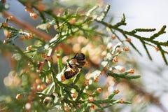 Abeja en una flor verde Macro de la abeja de la miel en la flor verde Fotos de archivo libres de regalías