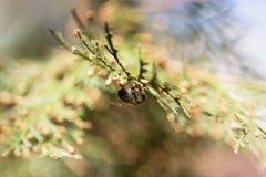 Abeja en una flor verde Macro de la abeja de la miel en la flor verde Fotos de archivo