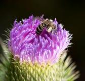 Abeja en una flor violeta Fotografía de archivo
