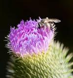 Abeja en una flor violeta Imagenes de archivo