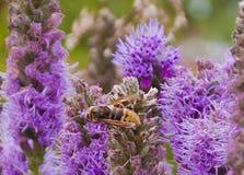Abeja en una flor violeta Imagen de archivo libre de regalías