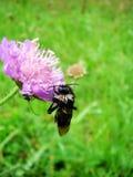 Abeja en una flor violeta del prado Fotos de archivo libres de regalías