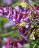 Abeja en una flor violeta, macro Fotografía de archivo libre de regalías