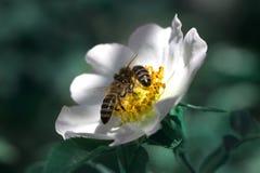 Abeja en una flor Flor y abeja color de rosa del verano de la primavera Imagen de archivo libre de regalías