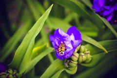 Abeja en una flor y una hierba púrpuras Imágenes de archivo libres de regalías
