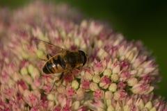 Abeja en una floración Fotografía de archivo libre de regalías