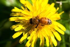 Abeja en una floración Foto de archivo