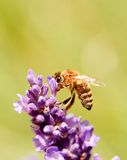 Abeja en una floración de la flor de la lavanda púrpura Imágenes de archivo libres de regalías