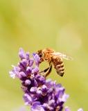 Abeja en una floración de la flor de la lavanda púrpura Imágenes de archivo libres de regalías