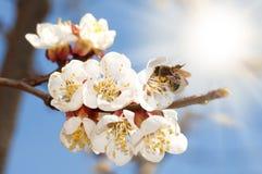 Abeja en una floración del albaricoque Fotos de archivo